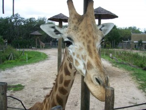 May 29.  I fed this giraffe at Lowry Park Zoo :)